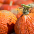 Pumpkin patch — Stock Photo #13539814