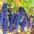 Photo: Wine grapes