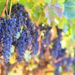 Wine grapes — Stock Photo #13679279