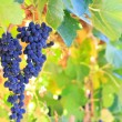 Wine grapes — Stock Photo #13679285