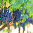 Wine grapes — Stock Photo #13679308