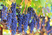 Wine grapes — Stockfoto