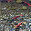 Spawning salmon — Stock Photo