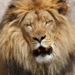 Stock Photo: Wild lion
