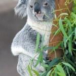 Koala — Stock Photo #22945728