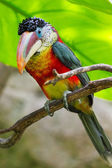 Rainforest bird — Stock Photo