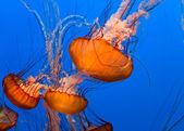 Jellyfish — ストック写真