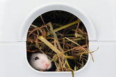 Little mouse sticking nose out of it's hole — Stock Photo