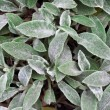 Stock Photo: Stachys leaves background