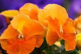 Heartsease rojo-amarillo, jardín de flores - primer plano — Foto de Stock