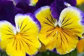 Yellow-blue heartsease, close-up — Stock Photo