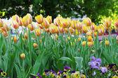 Flamenco tulips flower bed — Stock Photo
