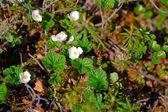 Blossom cloudberry — Stock Photo