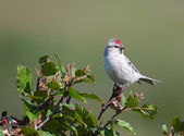 Redpoll male — Photo