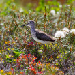 Pectoral Sandpiper in taimyr tundra — Stock Photo