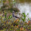 Pectoral Sandpiper in taimyr tundra — Stock Photo #29802923