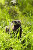 Ferret on the grass — Stock Photo