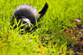 Ferret playing on the grass — Stock Photo