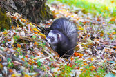Ferret in yellow autumn leaves — Stock Photo