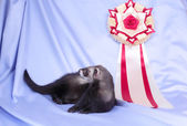 Young sable ferret with award — Stock Photo