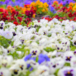 Stock Photo: Colorful Pansy Flowers on Flower Bed