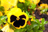 Pansy Yellow Flowers on Flower Bed — Stock Photo