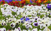 Colorful Pansy Flowers on Flower Bed — Stock Photo