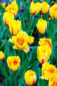 Flamenco tulips — Stock Photo