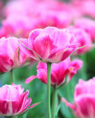 Queen of Marvel tulip, close-up — Stock Photo
