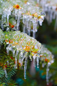 Fir branches covered with ice — Stock Photo