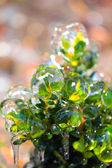 Bush covered with ice — Stock Photo