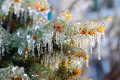 Ice covered fir branches — Stock Photo