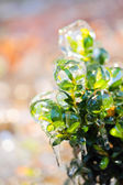 Green bush covered with ice — Stok fotoğraf