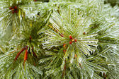 Branches of pine and cones covered with ice — Stock Photo