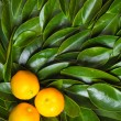 Three calamondin citrus fruits — Stock Photo