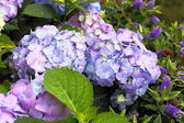 Violet-pink hortensia in the garden closeup — Stock Photo