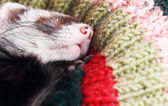 Sleeping ferret — Stock Photo
