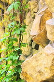 Stone wall with crawling plant — Stock Photo