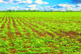 Rows of potato plants — Stockfoto
