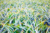Field of ripe triticale ears — Stock Photo