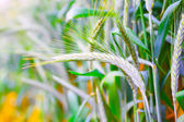 Field of ripe triticale ears — Stock Photo
