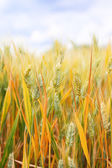 Close up of ripe wheat ears — Foto Stock