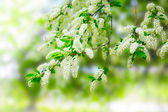 Beautiful blooming branch of bird cherry — Stock Photo