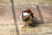 Young Sparrow — Stock Photo