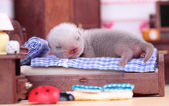Ferret baby in doll house — ストック写真