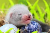 Ferret baby in the nest of hay — 图库照片
