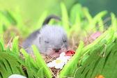 Fretka dziecka w gnieździe siana — Foto de Stock
