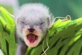 Ferret baby in the nest of hay — ストック写真