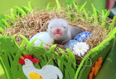 Ferret baby in the nest of hay — Stock Photo