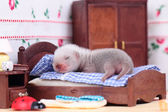 Ferret baby in doll house — Foto de Stock